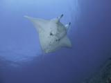Reef Manta Ray (Manta Alfredi)  Hawaii  USA