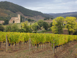 Vineyard and St Antimo Abbey  Montalcino  Italy  Tuscany