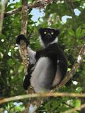 Indri (Indri Indri)  the Largest Lemur  Andasibe-Mantadia National Park  Madagascar