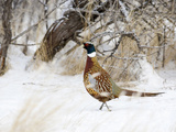 Rooster Ring-Necked Pheasant (Phasianus Colchicus)  Montana  USA