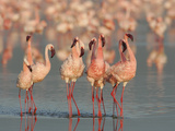 Lesser Flamingos Doing their Courtship Dance  Phoenicopterus Minor  Lake Nakuru  Kenya  Africa