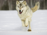 Gray Wolf (Canis Lupus) Running in the Snow  Northern Minnesota  USA