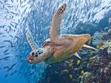 Green Sea Turtle (Chelonia Mydas)  Malaysia