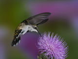 Ruby-Throated Hummingbird in Flight at Thistle Flower  Archilochus Colubris
