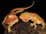 Bearded Dragon (Pogona Vitticeps)  Captive