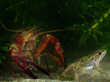 Red Swamp Crayfish (Procambarus Clarckii) Can Prey on Even Adult Amphibians Papier Photo par Fabio Pupin