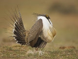 Male Greater Sage-Grouse (Centrocercus Urophasianus) Displaying