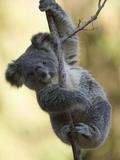Koala (Phascolarctos Cinereus) in a Eucalyptus Tree Papier Photo par Joe McDonald