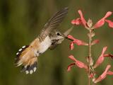 Rufous Hummingbird Female (Selasphorus Rufus) Feeding at a Salvia Flower  Scarlet Spires Variety