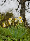 Cream Narcissus (Narcissus Tazetta)  Sicily  Italy