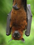 Flying Fox (Pteropus Vampyrus)  Malaysia