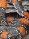 A Brightly-Patterned Gray-Banded Kingsnake (Lampropeltis Alterna)  Terrell County  Texas  USA