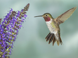 Broad-Tailed Hummingbird (Selasphorus Platycercus) Male Flying