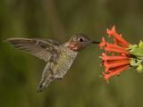 Anna's Hummingbird Male (Calypte Anna) Feeding at a Red Tubular Bouvardia Ternifolia Flower  USA