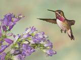 Calliope Hummingbird (Stellula Calliope) Male Flying