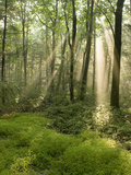 Deciduous Forest with Rays of Sunlight  Bald Eagle State Park  Pennsylvania  USA