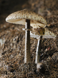 A Pair of Parasol Mushrooms (Macrolepiota Procera) on the Forest Floor