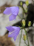 Gentian (Campanula Sabatia)  Endemic Flower of the Liguria Mountains  Italy