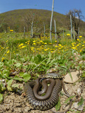 A Whip Snake (Hierophis Viridiflavus) Basking in the Spring Sunlight  Italy