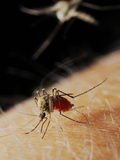 A Female Mosquito (Culex Pipiens) Feeding While a Second Mosquito Is Arriving