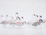 Lesser Flamingo (Phoeniconaias Minor) Adults and Young Wading Through Water
