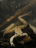 Italian Agile Frog (Rana Latastei) in the Dark Water of a Pond