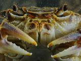 A Freshwater Crab (Potamon Fluviatilis)  Italy