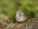 Lincoln's Sparrow Singing