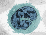 Cross-Section of Human T Lymphocyte Type of a White Blood Cell or Leukocyte
