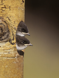 Violet-Green Swallow Nestlings Peering from their Nest Hole in a Tree  Tachycineta Thalassina