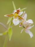 Marsh Helleborine Orchid (Epipactis Palustris)  Italy