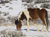 Feral Horse (Equus Ferus) at Mccullough Peaks Wildlife Management Area  Wyoming  USA