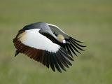 Crowned Crane in Flight  Downstroke  Tanzania