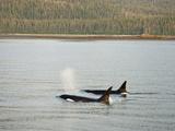 Orcas or Killer Whales (Orcinus Orca) Swimming Along the Coast of Southeastern Alaska  USA