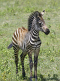Young Burchell's or Common Zebra  Equus Burchellii  on the Savanna of East Africa