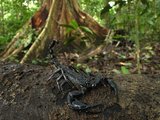 Scorpion on a Rainforest Log (Heterometrus Longimanus Borneensis)