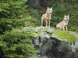 Gray Wolves (Canis Lupus)  Bavarian Forest National Park  Germany  Europe