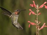 Anna's Hummingbird Male (Calypte Anna) Hovering Near a Salvia Flower  Scarlet Spires Variety  USA