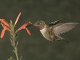 Broad-Tailed Hummingbird Male (Selasphoras Platycercus)