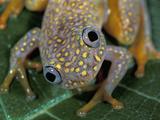 White Spotted Reed Frog Head (Heterixalus Alboguttatus)  Ranomafana National Park  Madagascar