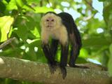 White-Throated Capuchin (Cebus Capucinus)  Cahuita National Park  Costa Rica