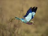 Lilac-Breasted Roller (Coracias Caudata)  Masai Mara Game Reserve  Kenya  Africa