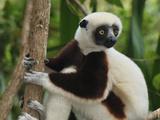 Coquerel's Sifaka Face (Propithecus Coquereli)  Ankarafantsika National Park  Madagascar