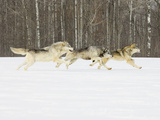 Gray Wolves (Canis Lupus) Running in the Snow with Birch Trees in Background  Northern Minnesota