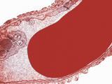 Cross-Section of an Alveolar Capillary Showing a Red Blood Cell or Erythrocyte  TEM X30 000