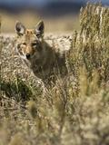 Coyote Hunting (Canis Latrans)  Montana  USA