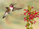 Broad-Tailed Hummingbird (Selasphorus Platycercus) Male Flying at Texas Betony (Stachys Coccinea)