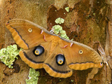 Female Polyphemus Moth (Antheraea Polyphemus)  Florida  USA