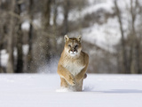 Mountain Lion (Felis Concolor)  Running in the Snow  North America