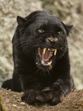 Black Panther (Panthera Onca)  Melanistic Morph  Growling and Snarling  Captivity